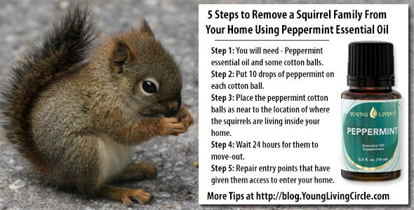 Peppermint Essential Oil To Repel Squirrel S And Rodents 5 Steps