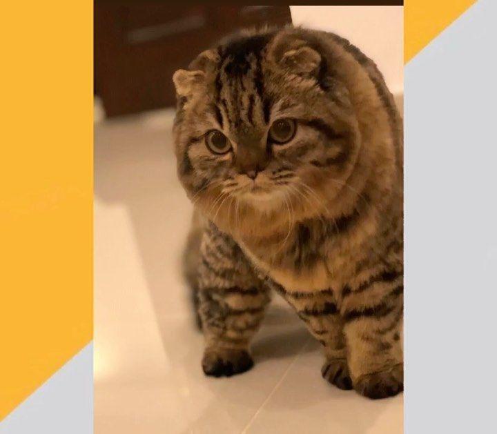 السلام عليكم اخوي ممكن تحط إعلان بيع قطوه نوع سكوتش فولد عمرها سنه طالبه تزاوج سبب البيع عدم التفرغ البيع يشمل اغراضه Cats Pets Cats Animals