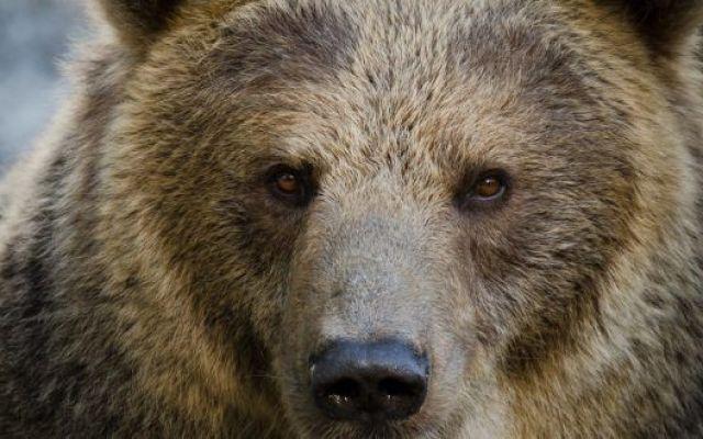 L'orso bruno, un colosso buono Ursus arctos,  detto semplicemente orso, è un mammifero appartenente alla famiglia Ursidae, diffuso in gran parte dell'Asia e del Nordamerica, oltre che in Europa orientale ed settentrionale.  Pesa