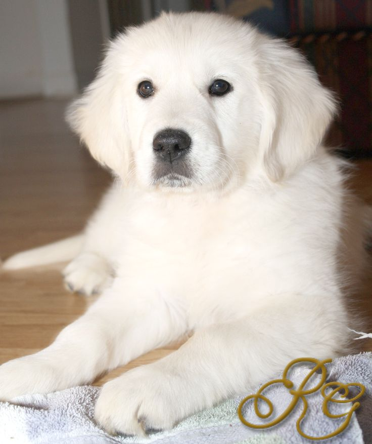 English Cream Golden Retrievers... aka baby polar bears