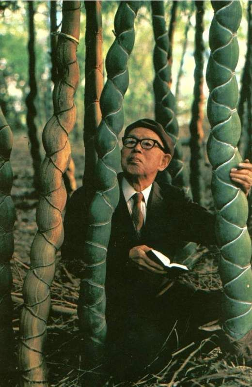 Tortoise Shell bamboo (Phyllostachys edulis 'Heterocycla' ) - A very rare bamboo outside of Asia
