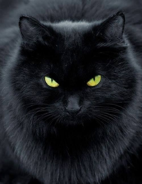 A beauty! | Black Cats...Not just for Halloween ...