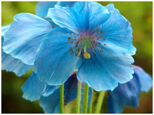 Himalayan Blue Poppy Bouquet Best 25+ Blue p...