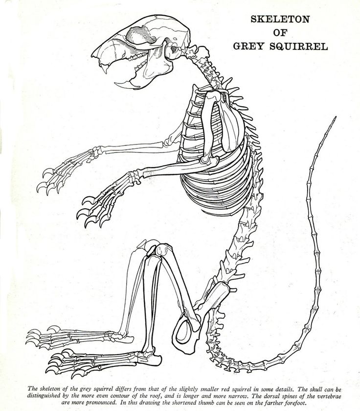 9 best squirrel anatomy images on pinterest