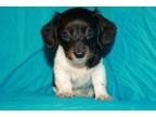 Teacup Dachshund Longhaired Piebald Female born 04/15/2012 |  Female Dachshund For Sale in Somerville NJ | 3066778017