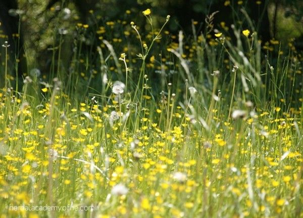 Health Benefits of Dandelion, not just a weed