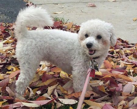38 Best Images About Bichon Frise On Pinterest Puppy For