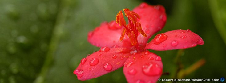 Free Facebook Cover Photos - Red Flower in the Rain - Photography by Robert Giordano, Design215.com
