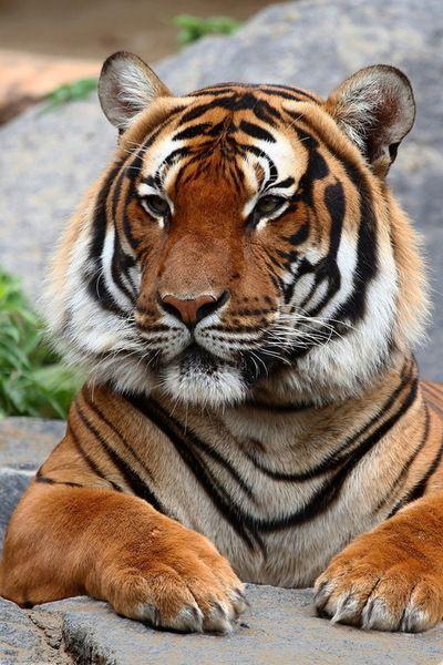 Bengal Tiger ~ just beautiful.