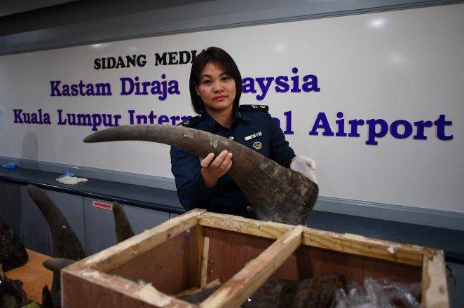 18 Cula Badak Senilai Rp41 Miliar Disita Petugas Bea dan Cukai Malaysia
