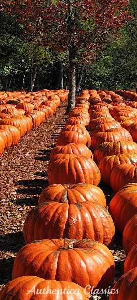 Juicy, plump pumpkins lined up in perfectly straight rows--waiting dutifully (as if they had a choice) for the carver's knife?   Yeeess!  Just in time for....... Halloweeeeeen!!!!! Ha Ha Ha Ha Ha!