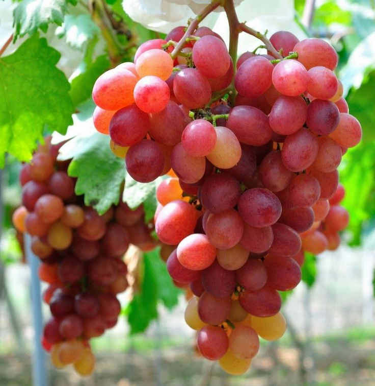 fotos de uvas rosadas - Pesquisa Google