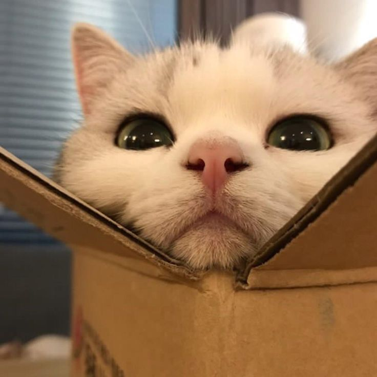 """Cats are cute. Cats in boxes are even cuter. They know this and take advantage of it."" --Anonymous"