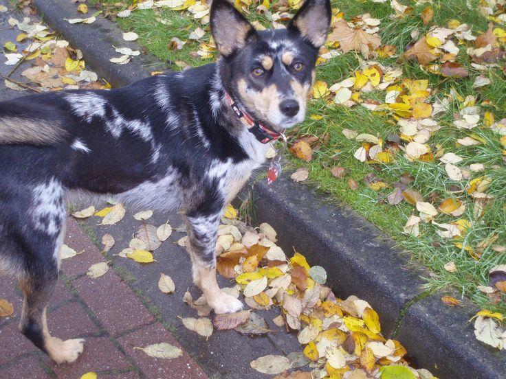 Holly (Australian Shepherd, Deutscher Schäferhund, Siberian Husky) Mischling Mix