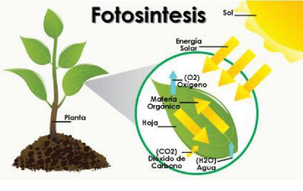Fotosíntesis para niños; Explicación gráfica y didáctica en 2020 | La  fotosintesis para niños, Fotosintesis, Fotosintesis de las plantas