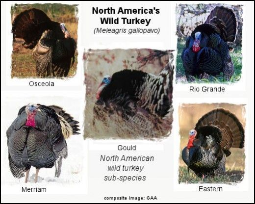 The North American wild turkey species is called the Meleagris gallopavo, but that grouping is broken down into five sub-species; Eastern, Osceola, Merriam, Gould, and Rio Grande. Their territories range from most of North America, (Eastern wild turkey), to extremely regional, (Osceola and Gould wild turkey).