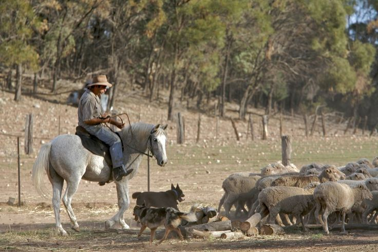 Bill musters the sheep on Gypsy Rose with Tiger and Bimbo. On an Aussie Bush Adventure you'll see genuine Australian culture and meet fair dinkum Aussies. #Australia #travel