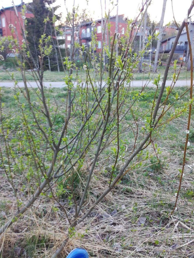 Paju (Salix) tienpientare 19.5
