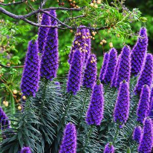 9 great plants for seaside gardens | Pride of Madeira (Echium candicans) | Sunset.com