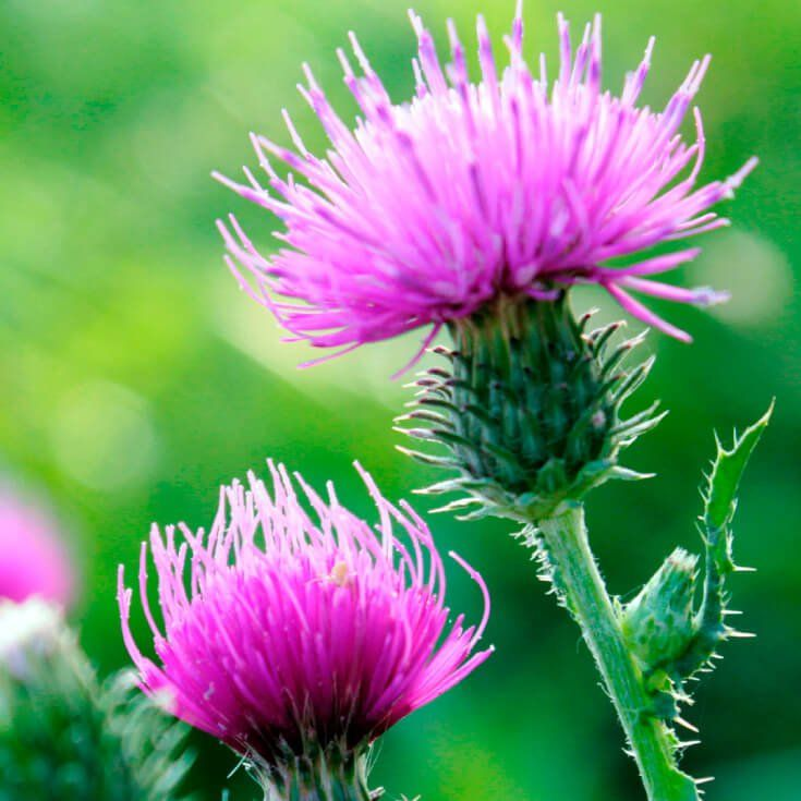 Milk Thistle Benefits: Detox the Liver  Milk thistle dosage is usually 1 capsule taken 2 to 3 times a day, preferably half an hour before a meal with a big glass of water.