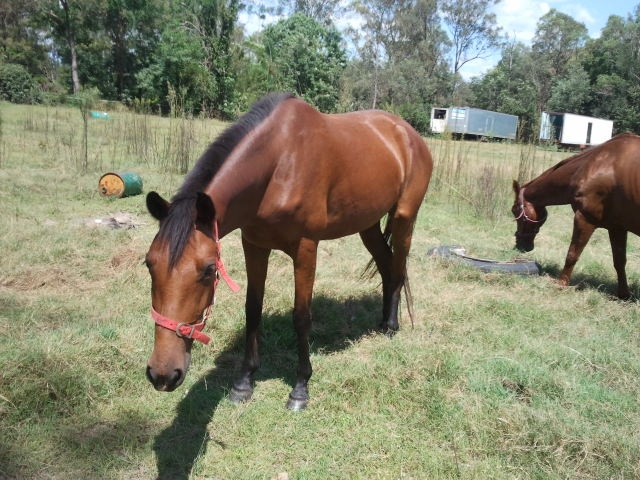 Galloping Hooves currently operates a rescue organisation for unwanted, abused and abandoned horses. While we are a basic operation, the horse's are well nourished and well looked after. Also helping flood impacted horses and owners