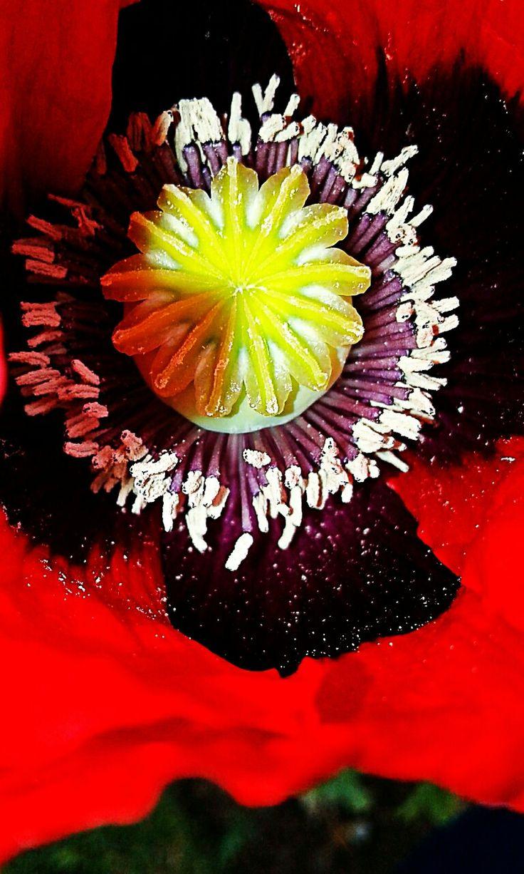 Poppy seed 4