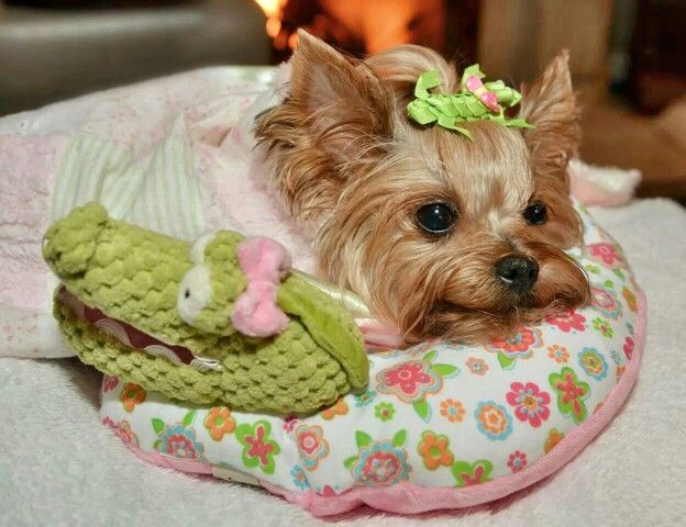 Yorkie.  This is little Miss Millie LaRue.  She was attacked by a large neighborhood dog.  She is a survivor and very very lucky to be alive.  We can never trust a dog any larger than our own dog.