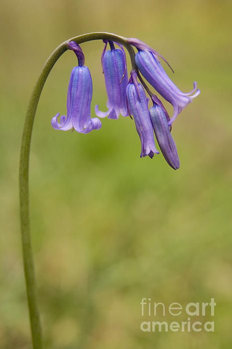 Close up of the raceme of a British Bluebell, Hyacinthoides non-scripta.