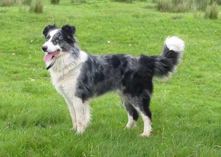 Australian Koolie This Breed Comes In Smooth Short Or Medium Hair Version And Usually Has One Or Two Blue Eyes And Is Bre Koolie Dog Australian Shepherd Dogs