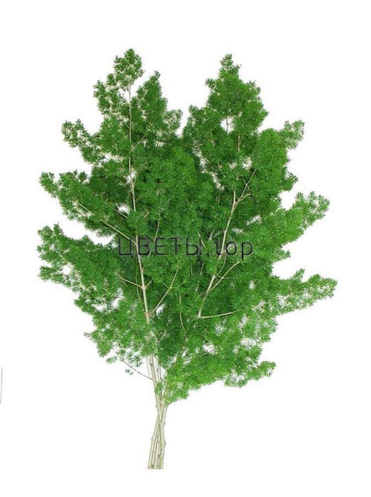 Аспарагус Умбелатус (Asparagus Umbellatus)
