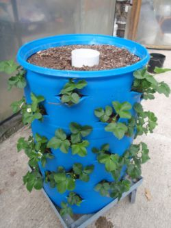 A whole strawberry patch in a 55 gallon drum.