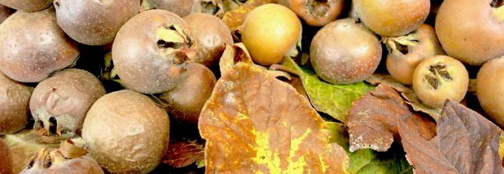 Medlar Fruit with Abundance of Health Benefits