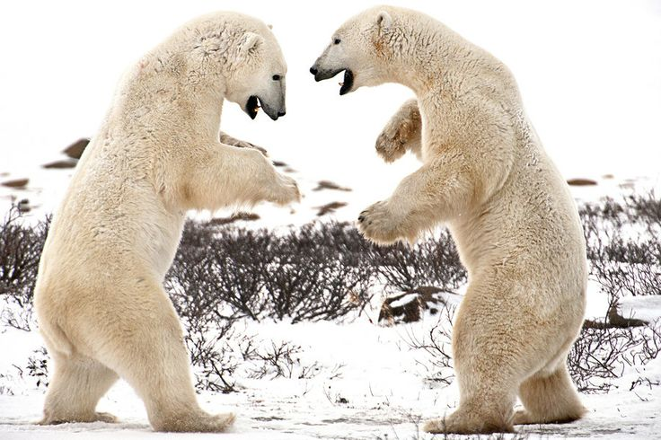 500px / Dancing Bears by Michelle Valberg