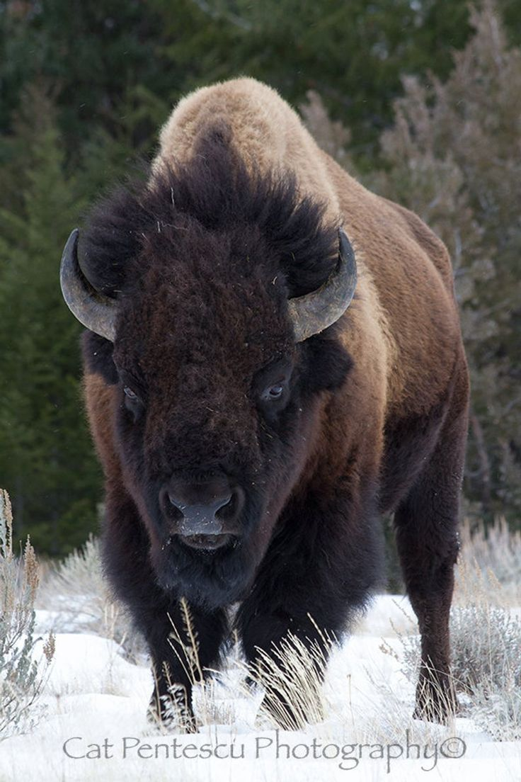 Amerikanischer Büffelbison Wild Wildlife Säugetier Tier Stier Winter   Etsy – BUFFALO SUN – #American #Tier #Bison #Buffalo #Bull