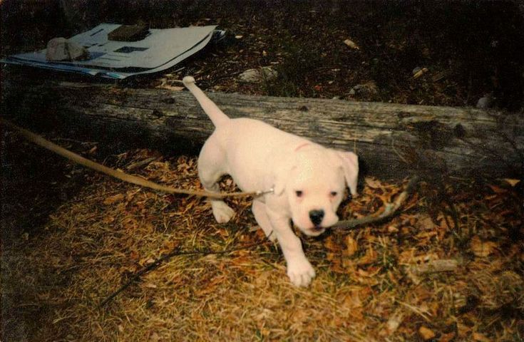 Wonderful Old Photograph Cute White American Bulldog Puppy Dog on Leash