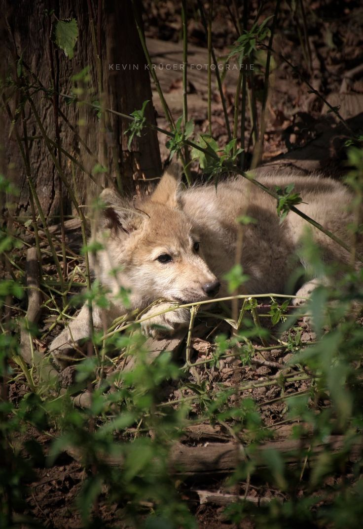 Pin by Eugene Bachorski on In the Wild Wolf pictures