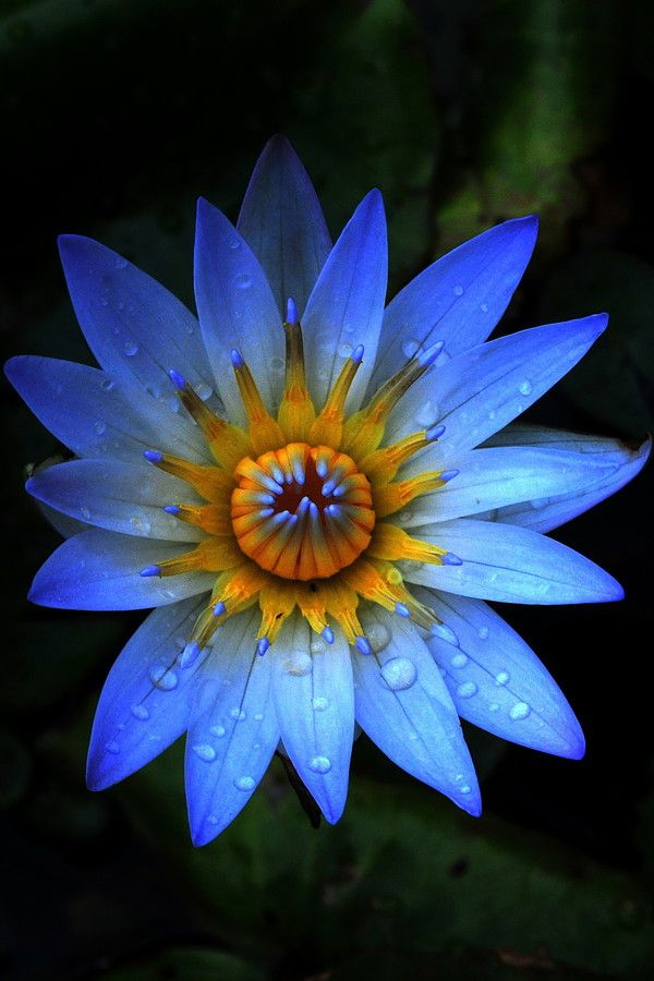 Water Lily, Kauai, Hawaii by Sandra Sigfusson #Water_Lily #Hawaii