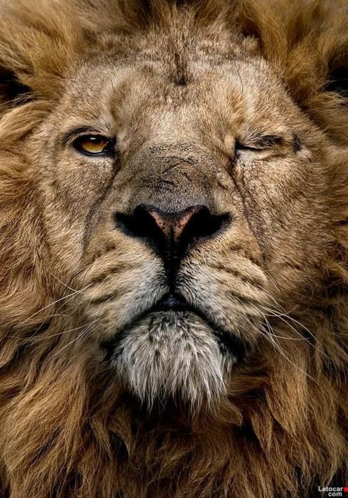 """""""Its too hard to make a Lion Angry... He really doesn't care what others do around him... but if you do hurt His PRIDE... He wont let you live another Day""""  ― Indrani Biswas"""
