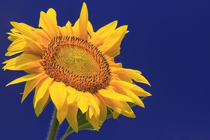 Sunflowers from the Great Hungarian Plain