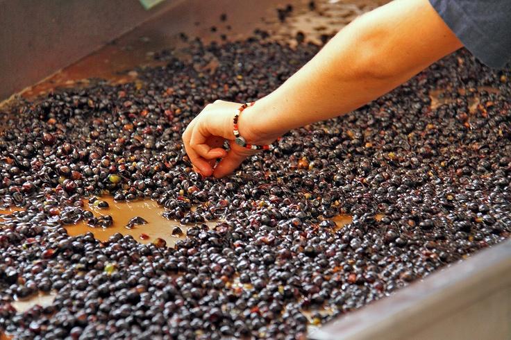 Sorting grapes   http://www.muratie.co.za/buy-wine/