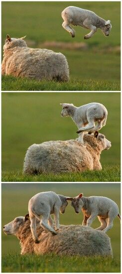 The things mums put up with just to make their babies happy!   #sheep #knitting