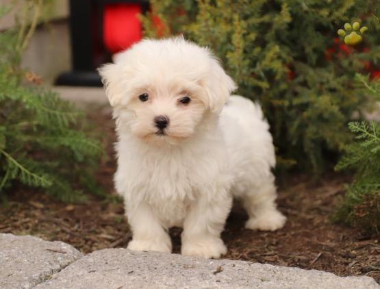 Maltese Puppiesofpinterest Pinterestpuppies Buckeyepuppies