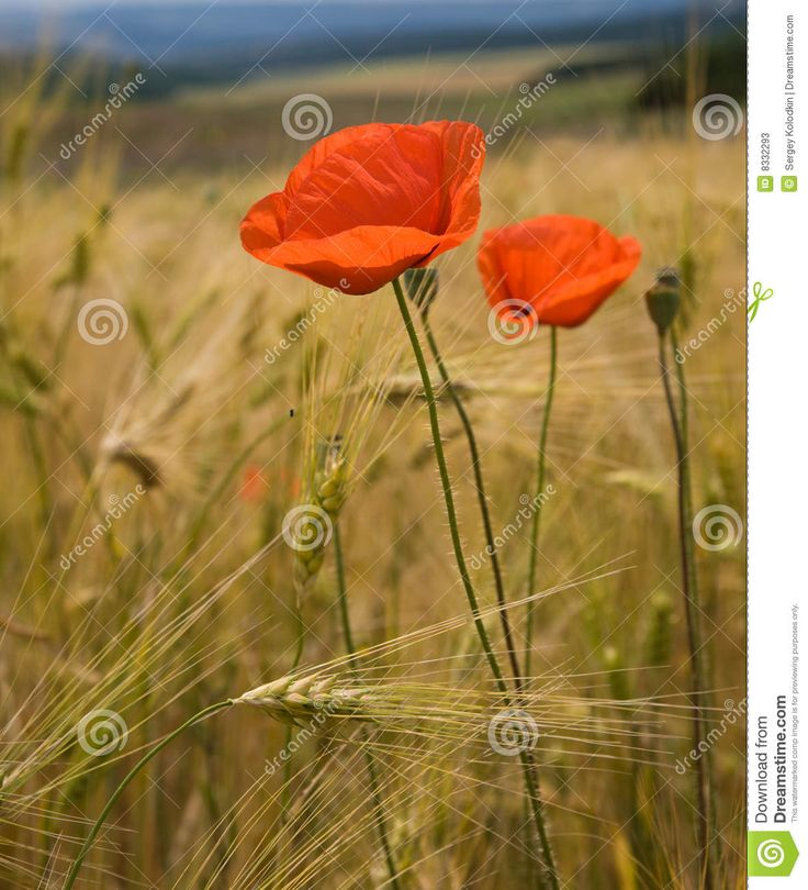Poppy Flowers On Wheat Field - Download From Over 28 Million High Quality Stock Photos, Images, Vectors. Sign up for FREE today. Image: 8332293