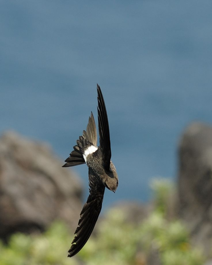 Fork-tailed swift (Apus pacificus) アマツバメ