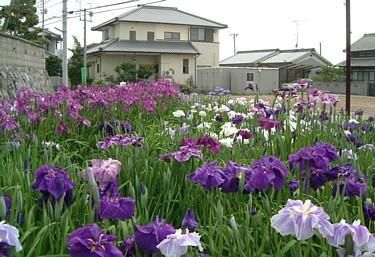 Japanese iris (Iris ensata or kaempferi) have the largest flowers of all irises, some being about 30cm across. They have been bred for over 200 years in Japan and also during the last century in the U