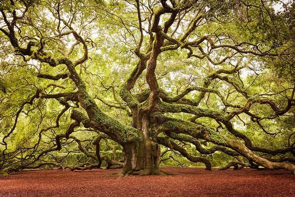 "This is the ""Angel Oak"" tree which can be found in South Carolina – It's estimated to be up to 1400 years old."