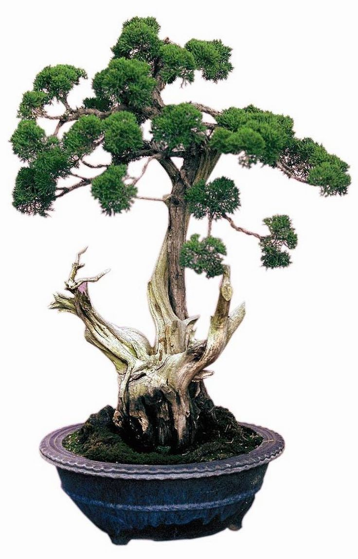 Preserved cypress bonsai 7 h contemporary phoenix by botanical - Mckinley Park Hosts A Bonsai Show This Weekend