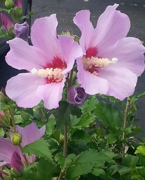 Creacioneszaiwill: Flor-primaveral Flor Cayena