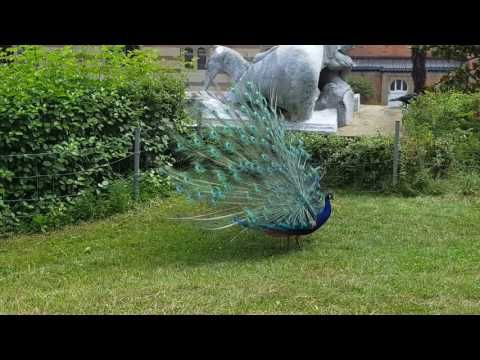 Pfau Wilhelms 2016 - YouTube