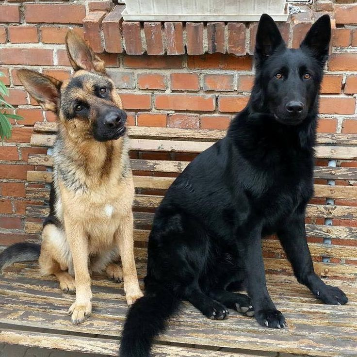 Hunter Dogs That Look Like German Shepards